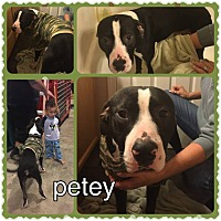 Adopt A Pet :: Petey--urgently needs a foster - Valley Springs, CA