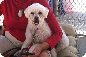 Bichon Frise/Poodle (Miniature) Mix Dog for adoption in Los Angeles, California - Rocky