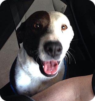 Australian Shepherd/Labrador Retriever Mix Dog for adoption in Media, Pennsylvania - ABIGAIL