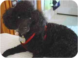 Poodle (Toy or Tea Cup) Dog for adoption in Melbourne, Florida - LUKE