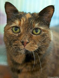 Domestic Shorthair Cat for adoption in St Louis, Missouri - Dolly