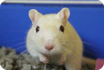 Gerbil for adoption in Benbrook, Texas - Jinx