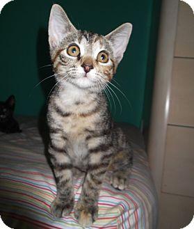 Domestic Shorthair Kitten for adoption in Lombard, Illinois - Daisy