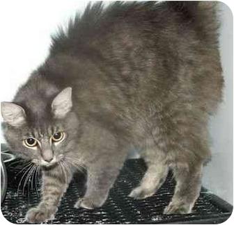 Domestic Mediumhair Cat for adoption in West Warwick, Rhode Island - Malina