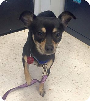 Chihuahua Dog for adoption in Oak Ridge, New Jersey - Dino