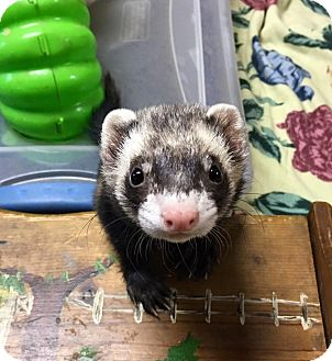 Ferret for adoption in Fawn Grove, Pennsylvania - Ying