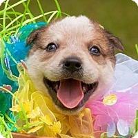 Adopt A Pet :: Joey - Gainesville, FL