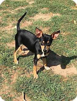 Chihuahua/Dachshund Mix Puppy for adoption in Fort Valley, Georgia - Dobby