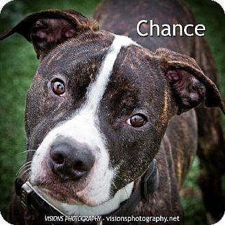 Pit Bull Terrier Dog for adoption in Cedar Rapids, Iowa - Chance