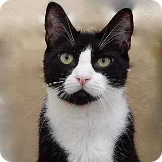 Domestic Shorthair Cat for adoption in Long Beach, New York - Galaxy