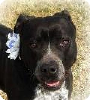 Staffordshire Bull Terrier/Cattle Dog Mix Dog for adoption in Columbia, Tennessee - Ellie Mae