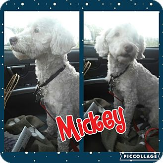 Bichon Frise/Poodle (Miniature) Mix Dog for adoption in Cranston, Rhode Island - Mickey
