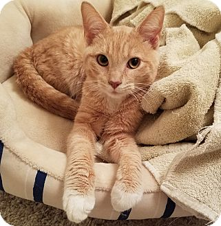 Domestic Shorthair Cat for adoption in Chicago, Illinois - Gilbert