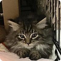 Adopt A Pet :: Blair - East Brunswick, NJ
