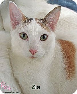 Domestic Shorthair Cat for adoption in St Louis, Missouri - Zia
