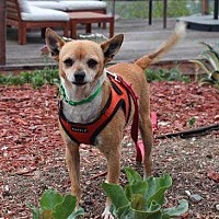 Adopt A Pet :: Otis - Encino, CA