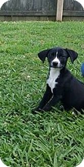 Terrier (Unknown Type, Small)/Beagle Mix Puppy for adoption in Hayes, Virginia - Belle