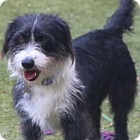 Adopt A Pet :: Sandra Dee - Norwalk, CT