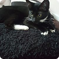 American Shorthair Kitten for adoption in Los Angeles, California - camila