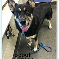 Adopt A Pet :: Scout - New Albany, OH