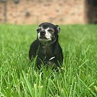 Adopt A Pet :: Molly  (Foster Care) - Baton Rouge, LA