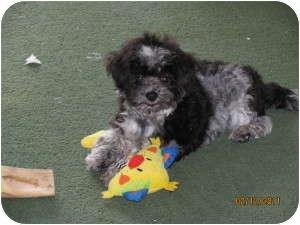 Havanese Puppy for adoption in Manteno, Illinois - Bixby in Ohio