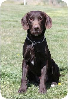 Labrador Retriever Dog for adoption in Portland, Oregon - Rudy