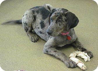 Catahoula Leopard Dog Mix Puppy for adoption in San Antonio, Texas - Billie
