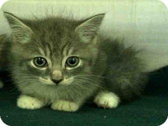 Domestic Mediumhair Kitten for adoption in San Clemente, California - BACON