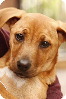 Shepherd (Unknown Type)/Boxer Mix Puppy for adoption in Santa Monica, California - Willow