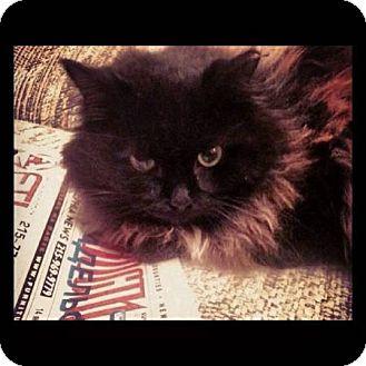 Persian Cat for adoption in Trevose, Pennsylvania - Wish