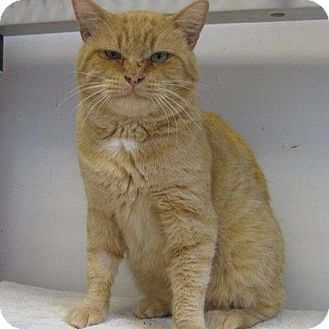Domestic Shorthair Cat for adoption in Denver, Colorado - Clint Eastwood