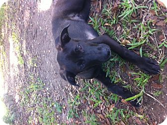 Labrador Retriever/American Bulldog Mix Dog for adoption in Homestead, Florida - Smoky-CL-Lloyd