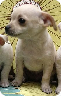 Chihuahua Mix Puppy for adoption in Thousand Oaks, California - Tequila