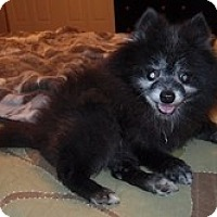 Adopt A Pet :: Gizmo - Madison, WI
