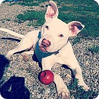 Adopt A Pet :: Cali - Lapeer, MI