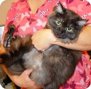 Burmese Cat for adoption in Monroe, North Carolina - Sophie Grace