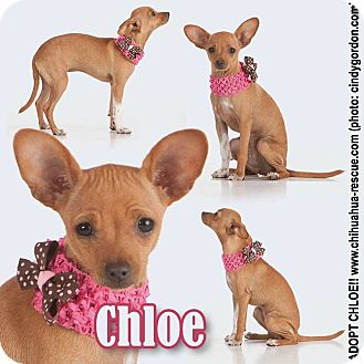 Chihuahua/Dachshund Mix Puppy for adoption in Dallas, Texas - Chloe - puppy