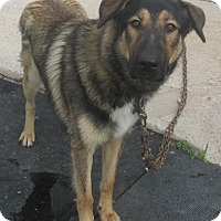 Adopt A Pet :: SHEPPARD   URGENT !!! - Cornwall, ON