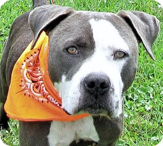 American Staffordshire Terrier/American Bulldog Mix Dog for adoption in Port St. Joe, Florida - Tyson