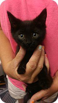 Domestic Shorthair Kitten for adoption in Ogden, Utah - Frodo