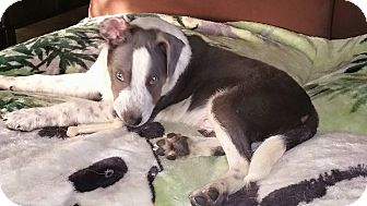Australian Shepherd/American Staffordshire Terrier Mix Puppy for adoption in Old Bridge, New Jersey - Blue