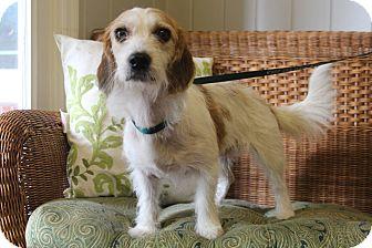 Beagle/Bichon Frise Mix Dog for adoption in Staunton, Virginia - Jazz