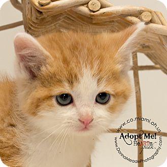 Domestic Shorthair Kitten for adoption in Troy, Ohio - Ren