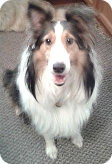 Sheltie, Shetland Sheepdog Dog for adoption in Pittsburgh, Pennsylvania - Grace