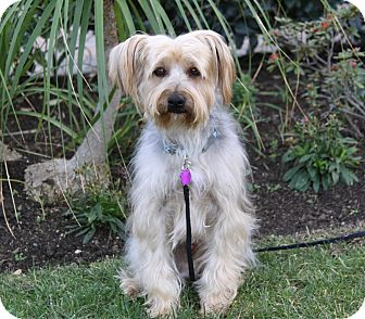 Yorkie, Yorkshire Terrier/Silky Terrier Mix Dog for adoption in Newport Beach, California - BRETT