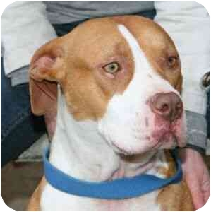 American Staffordshire Terrier/American Pit Bull Terrier Mix Dog for adoption in Berkeley, California - Simone