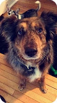 Australian Shepherd Dog for adoption in Minneapolis, Minnesota - Phoebe