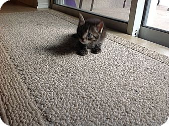 Domestic Shorthair Kitten for adoption in Tampa, Florida - Max