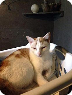 Domestic Shorthair Cat for adoption in Windsor, Connecticut - Shelby Cobra